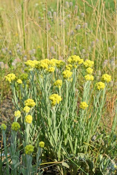 20787594-immortelle-helichrysum-yellow-medicinal-plant-summer-environment-details-stock-photo
