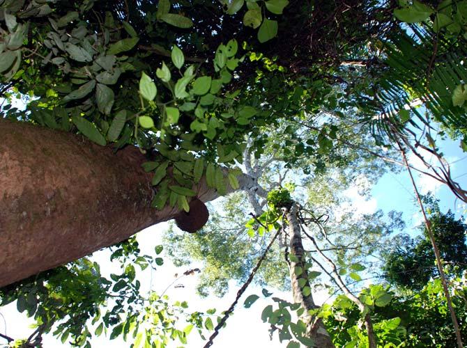 copaiba-canopy
